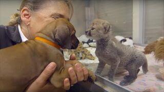 Pies i gepard spotkali się w dzieciństwie. Po dwóch latach te zwierzęta są dalej nierozłączne
