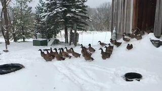 Kaczki po raz pierwszy w tym roku wychodzą na śnieg