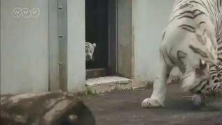 Ten tygrys sieje postrach