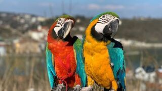 Spacer z papugami w czasie korona wirusa.
