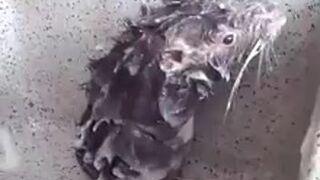 Nawet szczury się myją podczas epidemii
