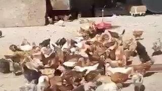 Czego boją się kurczaki?