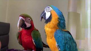 Popołudniowa siesta z papugami.