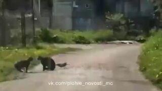 Wrona prowokuje koty do bójki