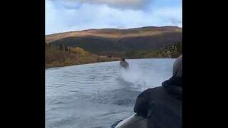 Łoś biegający po wodzie