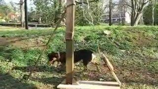 Maszyna do rzucania piłek psu