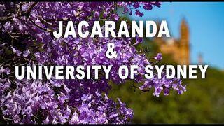 Jacaranda – Sydney w rozkwicie