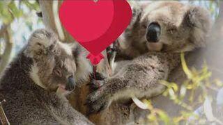 Jak koale świętują Walentynki