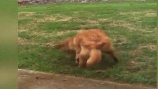 Pies przyłapany na kopaniu dziury