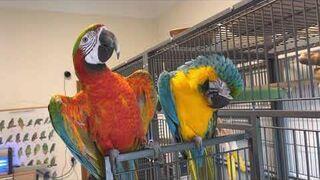 Papugi jak aniołki.