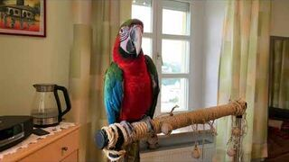 Gadająca papuga ara Lucy.