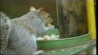 Sprytna wiewiórka