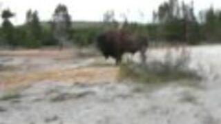 Kobieta chciała pobawić się z bizonem