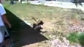 Back Flipping Pit Bull