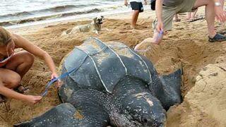 Olbrzymi żółw