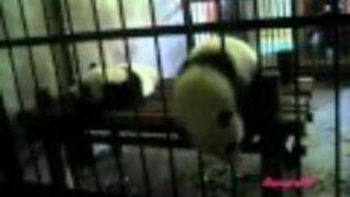 Panda przeszła przez kratę