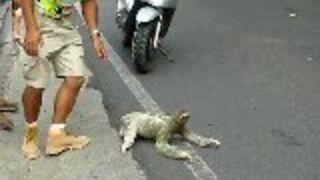 Leniwiec przechodzi przez drogę