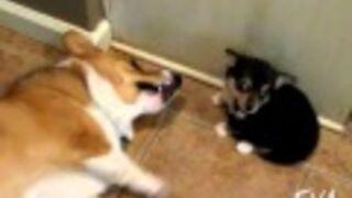 Corgi Reacts To Puppy Butt