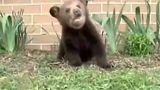 Kichający niedźwiadek