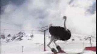 Struś na nartach