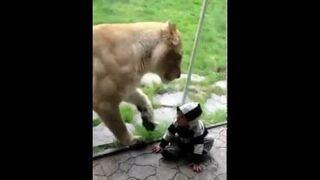 Lew próbował go zjeść... przez szybę.