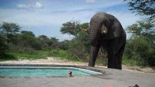 Basen: Słoń wpadł napić się wody