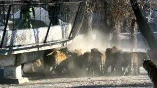 Syberyjskie tygrysy dostają na obiad żywą małą kozę