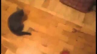 Chuck Norris Kitten