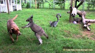 Kangur próbuje zabawy z psem