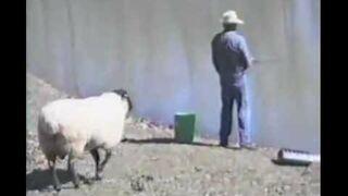 Złośliwa owca