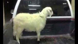 Karate Sheep