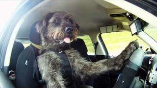 Pies jeździ samochodem!