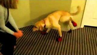 Pies próbuje chodzić w butach