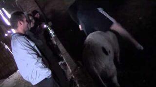 Ghost Rider na świni