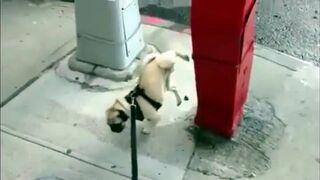 Sikanie akrobatyczne - pies to robi na przednich łapach