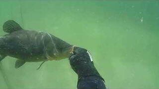 Podwodne polowanie kuszą - lin 3 kg