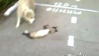 Kot udaje umarlaka!