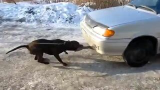 Pies ciągnie auto