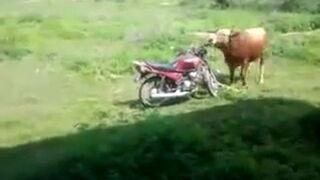 Byk na motorze?