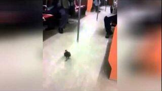 Gołąb jeżdżący metrem - gatunek leniwiec