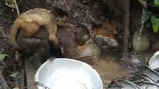 Małpki zmywają naczynia