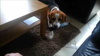 Why you should get a beagle:) Cute and Funny a tribute to all beagles