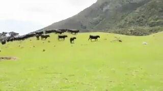 Krowy i samochód na zdalne sterowanie