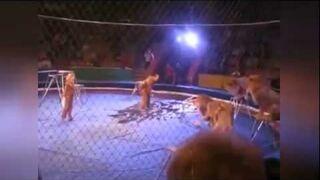 Atak lwów w cyrku na arenie - mogło się skończyć tragicznie !