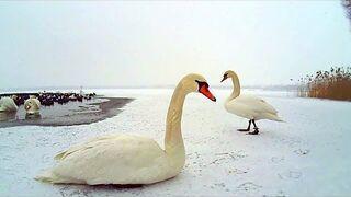 Ptaki wodne w zimie - jak nie szkodzić?