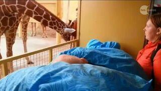 Żyrafa całuje umierającego opiekuna