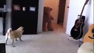 Straszenie małego psa misiem...