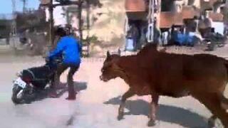 Krowy, do domu!