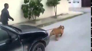 Pitbull holuje samochód!