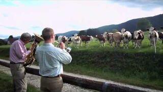 Krowy słuchają Jazz'u